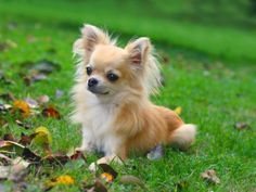 The smallest dog - chihuahua