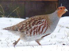 Hungarian Partridge in our backyard. Calgary, AB