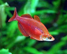 Red Rainbowfish,(Glossolepis incisus)Species Profile, Red Rainbowfish,(Glossolepis incisus)Care Instructions, Red Rainbowfish,(Glossolepis incisus)Feeding and more.::Aquarium Domain.com