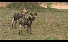 2 adult wild dogs on safari live 10.10.2015