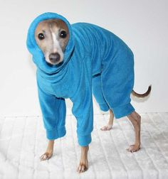 Snood Jammies for italian greyhounds! Haha I looks like Bella!! @Rob Cawte Cawte Cawte Cawte Don