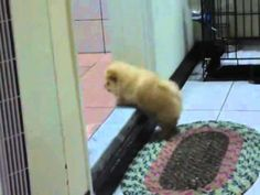 Cute Fluffy Puppy Vs The Step. YOU PEOPLE HAVE TO WATCH THIS!!!!!!!!!!!