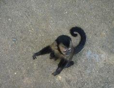 Macaco Prego no Jardim Botânico - RJ