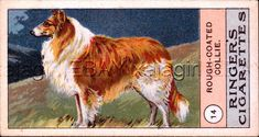 DOG Collie Rough, Very Rare Trading Card, 1908