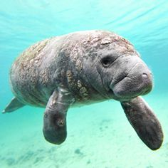 Ask Governor Rick Scott to make sure the manatees remain on the endangered species list where they belong.