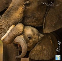 adorable creatures. .!! @africanamazing - The Africanamazing Team is honoured to present this stunning photo of baby elephant and her mom. Congratulations @moira_photography .Kindly show your IG gratitude by visiting/liking & following. For info about promoting your elephant art or crafts send me a direct message @elephant.gifts or emailelephantgifts@outlook.com . Follow @elephant.gifts for inspiring elephant images and videos every day! . . #elephant #elephants #elephantlove