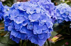 Hortensia bleu : Comment bleuir son hortensia facilement