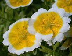 Poached Egg Flower (Limnanthes douglasii) via plant-biology.com