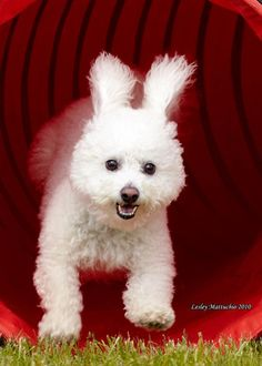 Bichon or Bunny? Hilarious! Gus looks like this when he's running 'cept he has helicopter tail too.