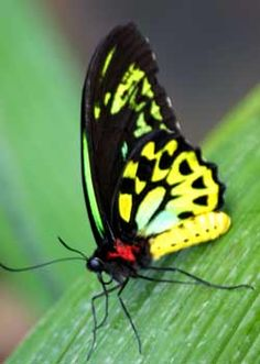 Birdwing Butterfly in the Butterfly House of the Melbourne Zoo...the largest buttefly native to Australia