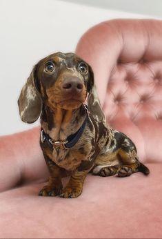 Dachshund Breed, Daschund, Dachshund Love, Weenie Dogs, Doggies, Baby Animals, Cute Animals, Crazy Dog Lady, Cutest Dogs