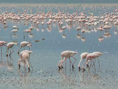 Safari in Kenya. Citeste mai multe: http://www.imperatortravel.ro/2012/10/mic-ghid-al-parcurilor-de-safari-din-africa-de-est-kenya-si-tanzania.html