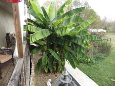 Denise's Banana Tree