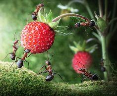O fotografo russo Andrey Pavlov registrou formigas vivas com ajuda de criatividade, técnica, luz, produção e muito conhecimento, resultando em imagens incríveis feitas sem ajuda de Photoshop. Foi preciso 3 anos de estudos, aprendizado sobre a sociedade das formigas e muitas horas com a câmera nas mãos.