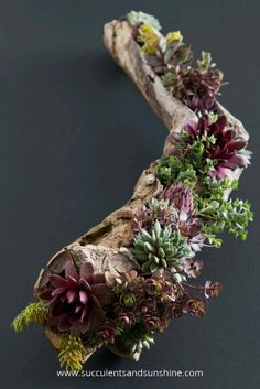 Driftwood and succulents go together better than chocolate and peanut butter, do they not?