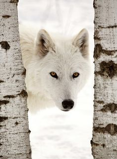 beautiful-wildlife:  Arctic WolfbyMark Duffy