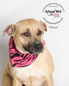 7 / 18 - Petango.com – Meet Clover, a 3 years 3 months Terrier, Pit Bull / Retriever, Labrador available for adoption in Montgomery, AL Address  1150 John Overton Road, Montgomery, AL, 36110  Phone  (334) 409-0622  Website  http://www.montgomeryhumane.co m/  Email  steventears@montgomeryhumane.o rg
