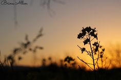 #photography #flower #sunset