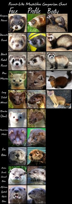 Ferret-like Comparison Chart by *HDevers on deviantART