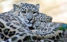 Snow leopard, Aphganistan