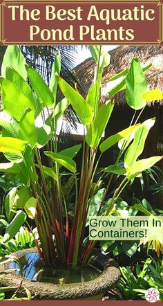Find all the best aquatic plants for your pond or water feature. From plants that float on the surface to lotus and horsetail rush, we will cover all the best choices. #PondPlants #WaterGardenPlants #AquaticPlants #PondPlantTypes Water Plants For Ponds, Floating Pond Plants, Water Garden Plants, Container Water Gardens, Water Containers, Container Plants, Garden Pond, Pond Landscaping, Ponds Backyard