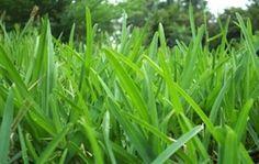 Buffalo Grass Comparison and Reviews