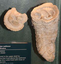 Hippurites radiosus  Location: U.S. National Museum of Natural History, Washington, DC Year: 2008 Merckdigitals catalogue number: 22-53133 Comments: Cretaceous, France