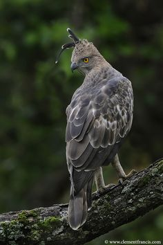 Changeable Crested Hawk-Eagle, breeds in Indian subcontinent, mainly India & Sri Lanka, from SE rim of the Himalaya across SE Asia to Indonesia & the Philippines    Clement Francis Bird Photography