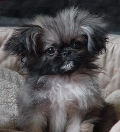 Love me some dang Pekingese