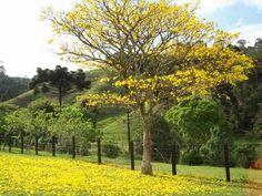 Jacarandá-mimoso - árvores, mudas e sementes. Natureza, arte, sustentabilidade e permacultura.