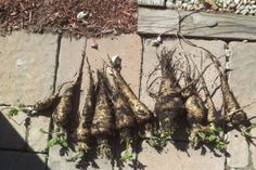 How to Grow Parsnip