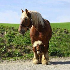 Two chestnuts: a Belgian and a Shetland pony!