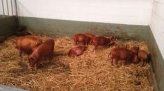 Red piglets, Bill Quay farm