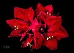 dark red amaryllis x 4 by Herbert Bräutigam on 500px