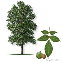 shagbark hickory tree - Google Search/ATTRACTS: Downy Woodpeckers.