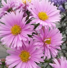 A beautiful Michaelmas Daisy sold to us as 'Sarah Ballard' but is obviously not! Pale soft pink flowers on tall stems - during early autumn. A superb variety. Michaelmas Daisy, Sun Loving Plants, Blue Bouquet, Pink Clouds, Pink Daisy, Pink Stars, Early Fall, Autumn Garden, Farm Yard