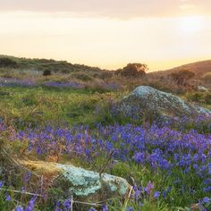 It seems fitting to offer a study of bluebells as the dusk draws in - taken within a week of the previous photo.  Time has already moved on and it will be another year before these flowers can be seen on a late spring evening. Walking tonight it struck me that the cuckoos' calls are now absent too. . . . . . #landscapephotography #landscape #photography #spring #stives #cornwall