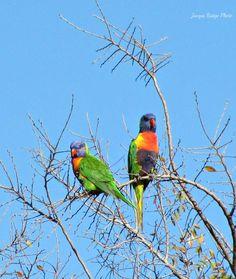Two rainbow lorikeets Parrot, Rainbow, Bird, Nature, Photos, Animals, Parrot Bird, Rain Bow, Rainbows