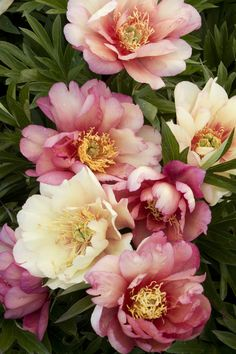 Julia Rose Itoh Peony-Large, double blossoms, soft apricot, blending to reddish-purple at the tips, stand above lush, toothed foliage. Flowers have a pleasant, slightly spicy scent. An especially vigorous plant, the sturdy flower stems require no staking.