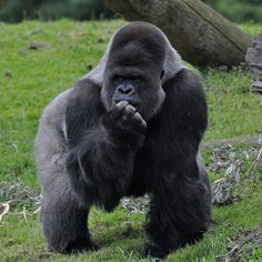 Western lowland gorilla | Recent Photos The Commons Getty Collection Galleries World Map App ...