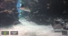 (29-12-2013) Live webcam of stingrays and Blacktip reef shark. (Use the keyword wesp333 on Google for my blog)