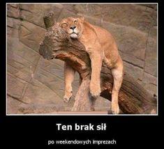 Sleeping Animals Pictures – Great Photography Female Lion Sleepanig on Dry Tree Funny Animal Pictures, Funny Animals, Cute Animals, Lion Pictures, Party Animals, Animal Jokes, Animal Pics, Funny Images, Beautiful Creatures