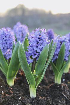 Delft Blue from Longfield Gardens - Year of the Hyacinth - National Garden Bureau Summer Bulbs, Spring Flowering Bulbs, Spring Bulbs, Container Gardening, Gardening Tips, Blue Hyacinth, Bulb Flowers, Cerulean, Delft
