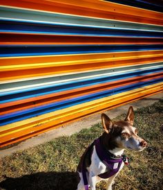 "119 Likes, 2 Comments - Bella the Rat Terrier (@bellathert) on Instagram: ""A good model always finds the light! #sundayfunday with the #modernart sculptures at the…"""