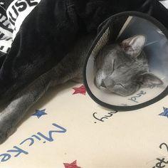 ♡ は〜ここは天国にゃ😽ぬくぬくにゃ😽 とウォルトくんは言っているようです☝️ ほんとにこたつが大好きで入ったら なかなか出てきませんが暑くなれば 顔だけ器用に出して寝てます😳✨ みなさんの猫ちゃんもこたつ好きですか?  #cat#neko#ねこ#ネコ#猫#キャット #ロシアンブルー#rossianblue#ウォルトくん #みんねこ#にゃび#はにぺと部#picneko #ニャンダフルライフ#ピクネコ#愛猫 #にゃんだふるらいふ#ペコねこ部#ねこ部 #ニャンスタグラム#ネコスタグラム#ぬこ #ねこまみれ#インスタキャット#こたつ猫 #猫ばか#ねこのきもち#イケニャン#グレ猫 #猫との暮らし
