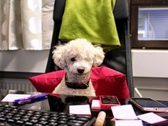 Tobbe the Poodle at work <3