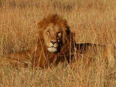ユーラシア旅行社で行くケニア・タンザニアツアーにて百獣の王ライオンに遭遇!(イメージ)