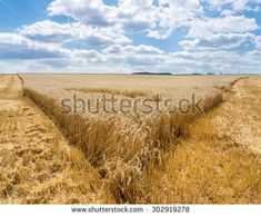 Tip of a partially harvested wheat field in a wide, rural landscape with blue and white sky