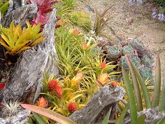 Array of small bromeliads and Echeverias in Colin Hogarth's garden, Te Puru, NZ by tanetahi, via Flickr