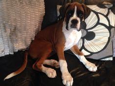Boxer enjoying the sofa